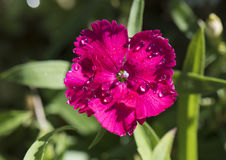A red fringed petal with dew drops, dianthus. Pictured is a closeup view of a red petal of dianthus, with morning dew drops.  Dianthus is an ornamental plant Stock Photos