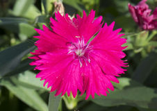 A red fringed petal, dianthus Royalty Free Stock Photos