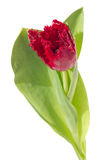 Red fringed tulip Royalty Free Stock Image