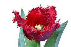 Red fringed tulip royalty free stock image