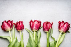 Red Fringed Tulips , floral border on light gray background, top view. Spring flowers Stock Photo