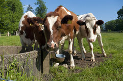 Red frisian cows Stock Photos