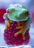 Red frog Royalty Free Stock Photo