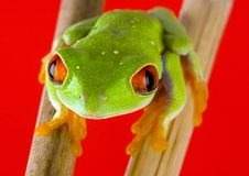 Red frog Royalty Free Stock Photography