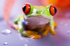 Red frog. Frog - small animal with smooth skin and long legs that are used for jumping. Frogs live in or near water. / The Agalychnis callidryas, commonly know stock photos