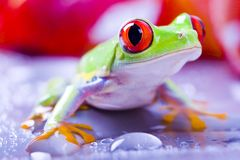 Red frog. Frog - small animal with smooth skin and long legs that are used for jumping. Frogs live in or near water. / The Agalychnis callidryas, commonly know royalty free stock image