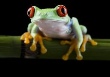 Red frog. Frog - small animal with smooth skin and long legs that are used for jumping. Frogs live in or near water. / The Agalychnis callidryas, commonly know stock photo