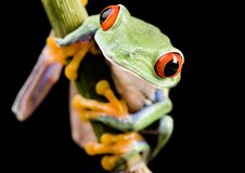 Red frog Royalty Free Stock Image
