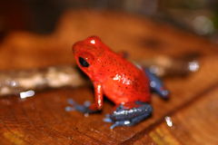 Red frog. In back Royalty Free Stock Photo
