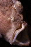 Red Frog fish with open mouth Royalty Free Stock Image