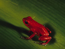Red frog on a grass Royalty Free Stock Image