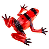 Red frog Stock Images