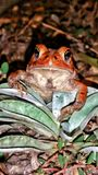 Red frog. Toad amphibian anphibian animal propped grass night time look at me nature Stock Images