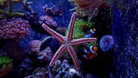 Red Fromia elegance starfish in Marine aquarium royalty free stock photos