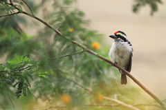 Red-fronted barbet Stock Photography