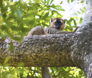 Red-fronted brown Lemur Royalty Free Stock Photo
