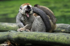 Red-fronted brown lemur Stock Photos