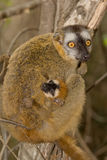 Red Fronted Brown Lemur. Wild Red Fronted Brown Lemur in Madagascar Stock Photos