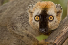 Red Fronted Brown Lemur. Wild Red Fronted Brown Lemur in Madagascar Stock Image