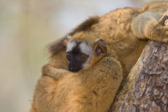 Red Fronted Brown Lemur. Wild Red Fronted Brown Lemur in Madagascar Royalty Free Stock Photo