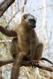 Red-fronted Brown Lemur basking in early morning sun Stock Photography