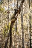 Red-fronted Brown Lemur clinging to a tree, Kirindy Forest, Menabe, Madagascar Stock Images