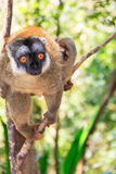 Red-fronted brown lemur Stock Image