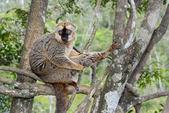 Red-fronted brown lemur, lemur island, andasibe Stock Photos