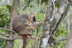 Red-fronted brown lemur, lemur island, andasibe Royalty Free Stock Photography