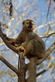 Red-fronted Brown Lemur perched in tree branches Royalty Free Stock Image