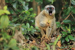Red-fronted brown lemur Stock Photo
