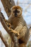 Red-fronted Brown Lemur sitting in tree branches. Red-Fronted Brown Lemur resting in tree branches in early morning sun, Kirindy Forest Reserve, Madagascar Royalty Free Stock Photography