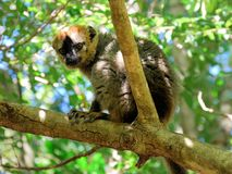 Red fronted brown lemur, Isalo National Park, Madagascar. Red fronted brown lemur sitting in a tree - Eulemur rufifrons, endemic mammal to Madagascar, Isalo Stock Image