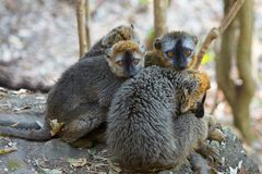 Red-fronted Brown Lemurs huddling together. In the afternoon shade, Isalo National Park, Madagascar Stock Image