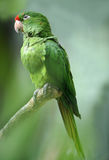 Red fronted conure parrot, colombia Stock Photo