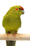 Red-fronted Kakariki parakeet Royalty Free Stock Image