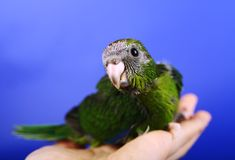 Red-fronted Kakariki parakeet baby Royalty Free Stock Photo