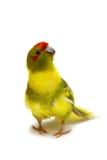 Red-fronted Kakariki parakeet isolated on white Royalty Free Stock Photography