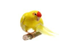 Red-fronted Kakariki parakeet on white Royalty Free Stock Image