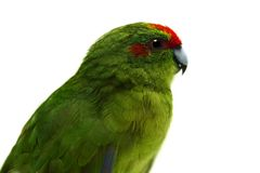 Red-fronted Kakariki parakeet on white Stock Photo