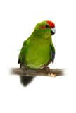 Red-fronted Kakariki parakeet on white Stock Image