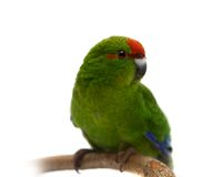 Red-fronted Kakariki parakeet on white Stock Images