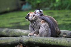 Red-fronted lemur Royalty Free Stock Photo