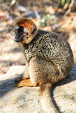 The red-fronted lemur Royalty Free Stock Photos