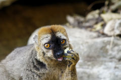 The red-fronted lemur (Eulemur rufifrons) Royalty Free Stock Photos