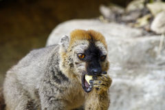 The red-fronted lemur (Eulemur rufifrons) Royalty Free Stock Images