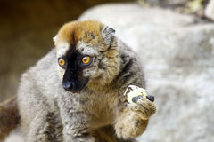 The red-fronted lemur (Eulemur rufifrons) Stock Images