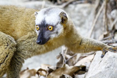 The red-fronted lemur (Eulemur rufifrons) Royalty Free Stock Photo