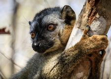 Portrait of a Red-fronted Brown Lemur clinging to a tree, Kirindy Forest, Menabe, Madagascar Royalty Free Stock Photography