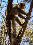Red-fronted Brown Lemur in a tree, Kirindy Forest, Menabe, Madagascar. The red-fronted lemur Eulemur rufifrons, also known as the red-fronted brown lemur or Stock Photos